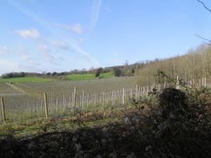Albury vineyard