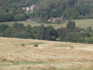 Deer above Little Missenden